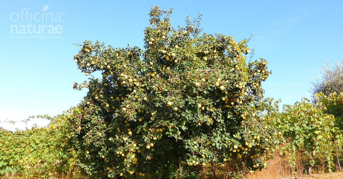 Un albero di Mele Cotogne
