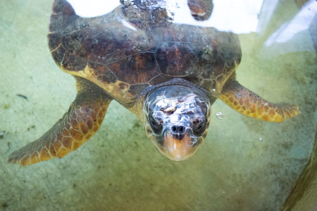Tartaruga ospite della Fondazione Cetacea Riccione
